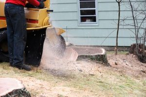 Mulberry stump grinding